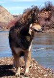 Lupo in montagne di Colorado sul Eagle River Fotografie Stock Libere da Diritti