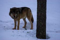 Lupo nell'inverno Lapponia, Finlandia fotografia stock libera da diritti