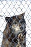 Lupo nero nella prigionia immagine stock