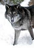 Lupo in neve Fotografie Stock