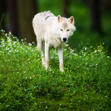 Lupo polare artico del lupo aka o lupo bianco Immagine Stock