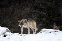 Lupo Prowling Fotografie Stock Libere da Diritti