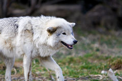 Lupo selvaggio bianco che prepara attacare Fotografie Stock Libere da Diritti