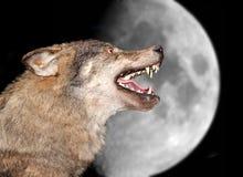Lupo sotto la luna Fotografie Stock Libere da Diritti