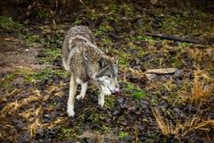 lupo Un grande lupo nella foresta sta preparando attaccare immagine stock libera da diritti