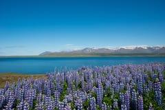 Luppins, Hvalfjordur,冰岛 库存图片