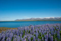 Luppins, Hvalfjordur, Iceland Stock Image
