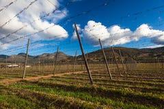 Luppoli che coltivano birra Immagine Stock Libera da Diritti