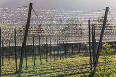 Luppoli che coltivano il giacimento della birra Fotografia Stock Libera da Diritti