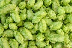 Luppoli verdi immagine stock