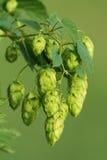 Luppolo-pianta Immagine Stock