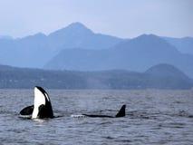 Lupulagem do espião da orca com a vagem das orcas residentes da costa perto de Sechelt, BC fotos de stock
