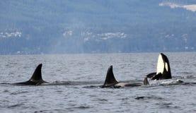 Lupulagem do espião da orca com a vagem das orcas residentes da costa perto de Sechelt, BC fotografia de stock