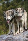 Lupus de Canis de loup Photos libres de droits