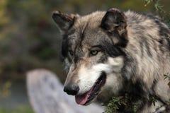Lupus de Canis de loup Images libres de droits