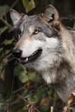 Lupus de canis de loup Photos stock