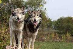 Lupus de Canis del lobo Imagen de archivo