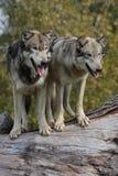 Lupus de Canis del lobo Foto de archivo