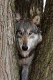 Lupus de Canis del lobo Imágenes de archivo libres de regalías