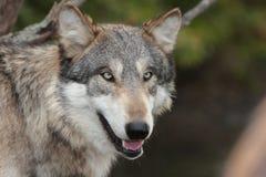 Lupus de Canis del lobo Imagenes de archivo