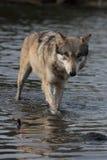 Lupus de Canis del lobo Foto de archivo libre de regalías