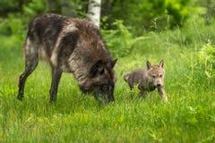 Lupus de Grey Wolf Canis avec le chiot images stock