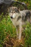 Lupus de Grey Wolf Canis con la roca en fondo Fotografía de archivo libre de regalías