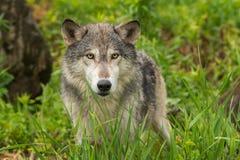 Lupus de Grey Wolf Canis detrás de la hierba Foto de archivo libre de regalías