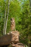 Lupus de Grey Wolf Canis en roca Fotografía de archivo