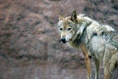Lupus di Canis Fotografie Stock Libere da Diritti