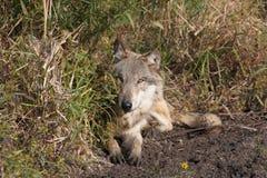 Lupus di Canis del lupo Fotografie Stock Libere da Diritti