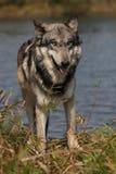 Lupus di Canis del lupo Fotografia Stock Libera da Diritti