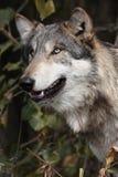 Lupus di canis del lupo Fotografie Stock