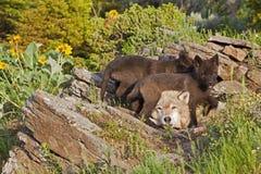 Lupus di Canis femminile del lupo e due pups Fotografia Stock