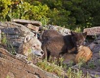 Lupus e pups di Canis femminile del lupo Immagini Stock Libere da Diritti