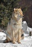Lupus för lupus för EurasianvargCanis En-öra vargkvinnlig arkivbilder