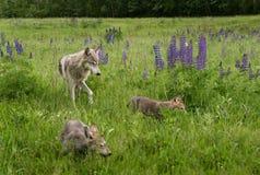 Lupus juvenil y perritos de Grey Wolf Canis en campo Imágenes de archivo libres de regalías