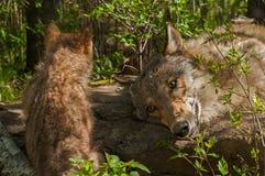 Lupus y adulto de Grey Wolf Pup Canis Fotos de archivo libres de regalías