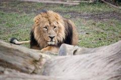 lura för lion Arkivfoton