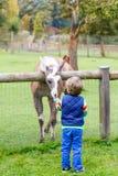 Lura pojken med exponeringsglas som matar laman på en djur lantgård Royaltyfri Foto