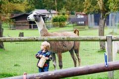 Lura pojken med exponeringsglas som matar laman på en djur lantgård Fotografering för Bildbyråer