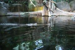 Lura som är gharial Royaltyfri Foto