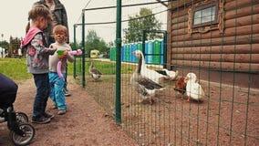 Lurar matande gäss och änder i aviarium bak det gröna staketet zoo field treen arkivfilmer