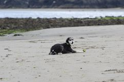 Lurcher dog on the beach with a ball. A Lurcher dog is on the beach with a ball waiting to play royalty free stock photo