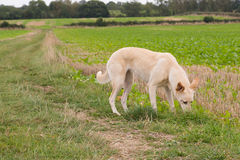 Lurcher Dog in a Field Royalty Free Stock Photo