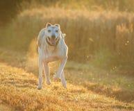 Lurcher dog. Running in summer fields Stock Photo