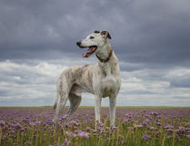 Lurcher dog. On sea lavender flowers Royalty Free Stock Images