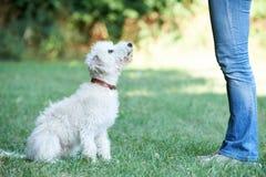 Lurcher för husdjur för hundägareundervisning som sitter Royaltyfri Bild