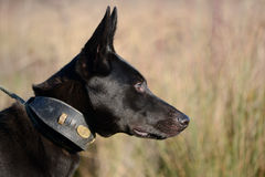 Lurcher German Shepherd crossbreed dog Stock Images