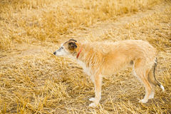 A Lurcher in a stubble field.. Stock Photos